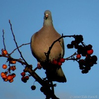 Over Large Pigeon Alights On Small Crab Apple Tree And...