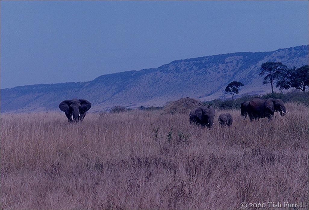 elephant_0001 v