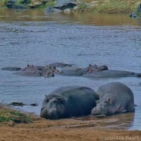 Mara Hippos ~ Sleeping Like Tops