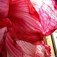 Delicacy In Decay ~ The Doorstep Amaryllis