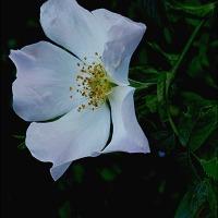 Wild Rose ~ One Single Flower