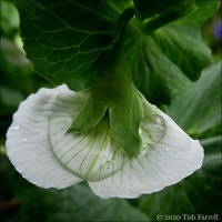 Small But Beautiful: Raindrops On Pea Flower