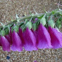 Foxglove After Rain ~ Bowed But Not Defeated