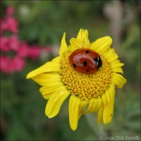 Ladybird And Marguerite
