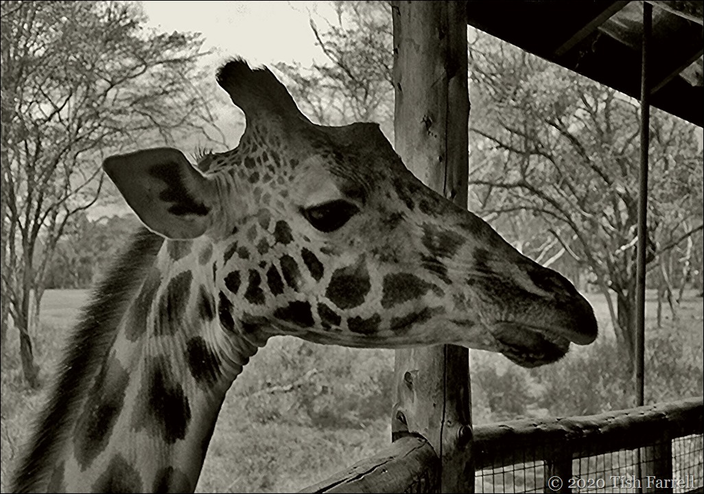 Scan-140829-0018jpeg giraffe centre sepia