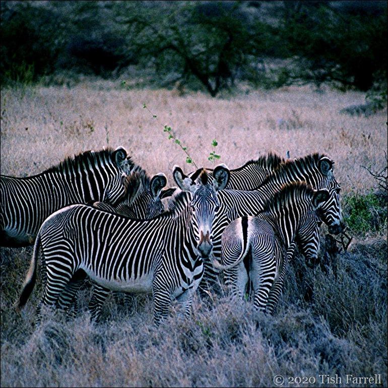 sq Grevy's zebra 2 - Copy (2)