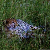 Kinda Chilling Cheetah Style