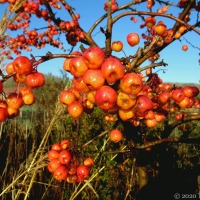 Crab Apple Heaven