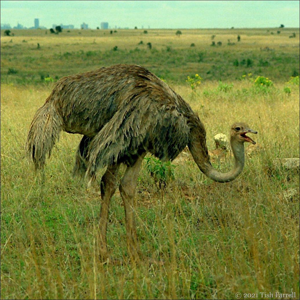 ostrich sq