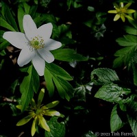 Of Windflowers And Pileworts