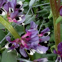Purple on the plot: bean flowers