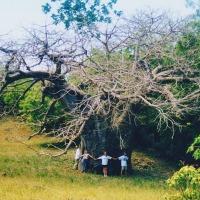 A Very Big Baobab