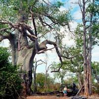 A Very Big Zambian Baobab