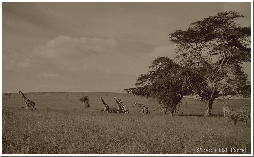 Athi Plains giraffes sepia