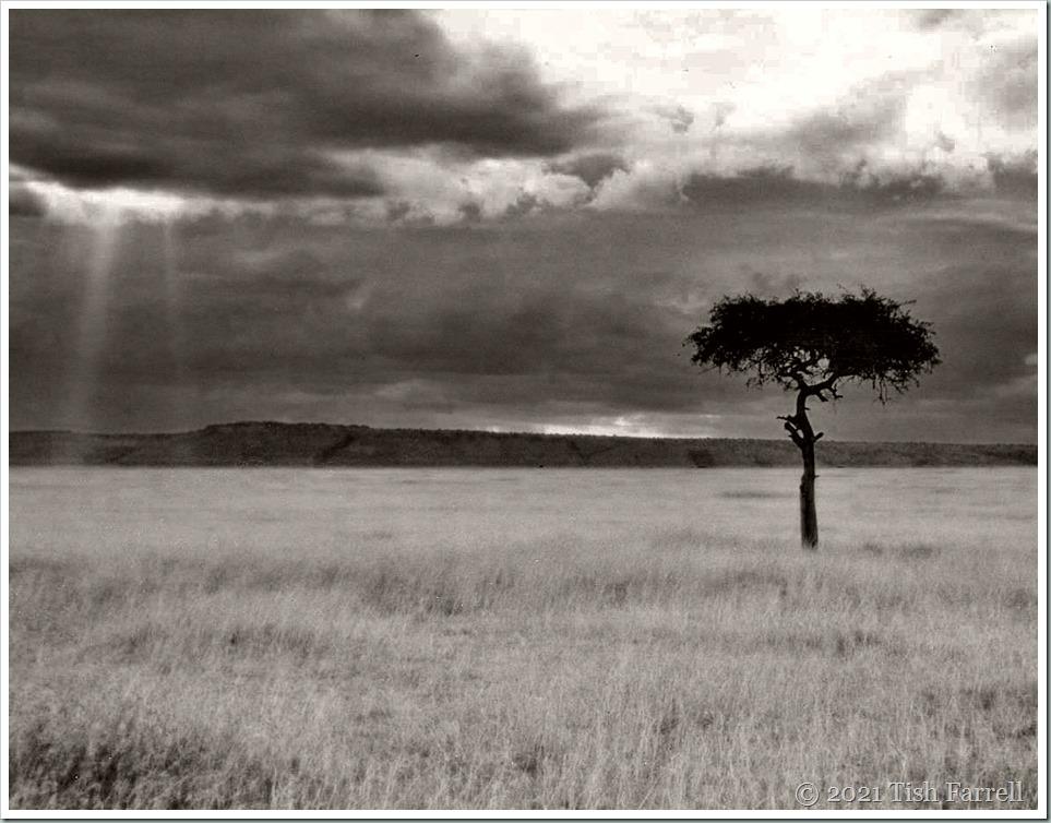 desert date mulului tree 001sepia
