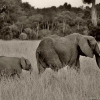 'Large As Life' ~ More 'Vintage' Africa Scenes