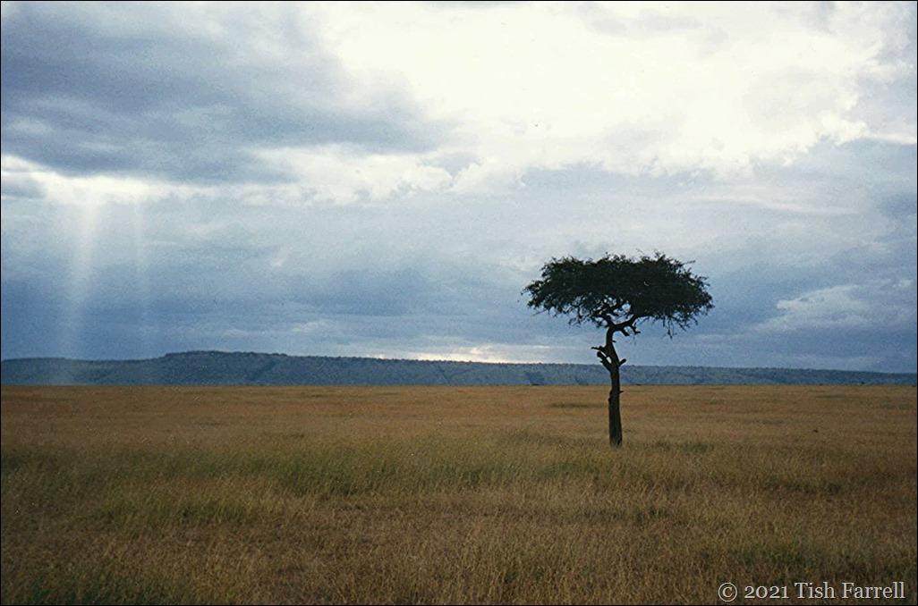 desert date mulului tree 001 - Copy (2)