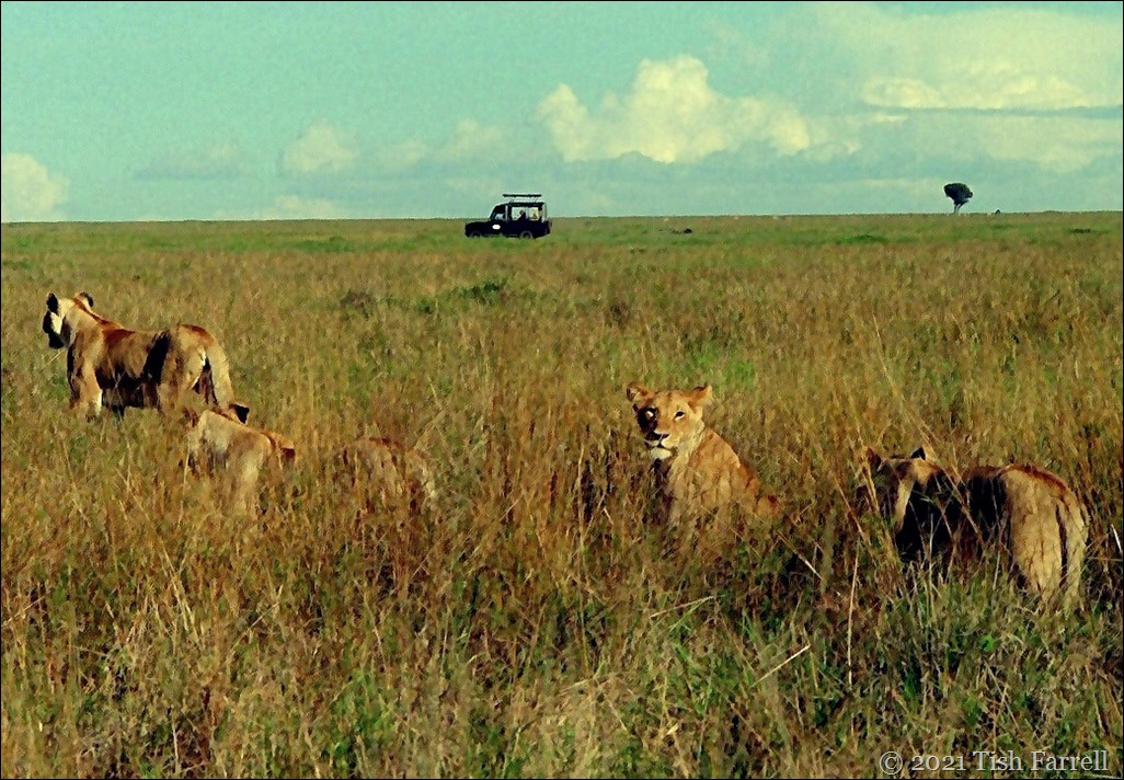 lions wide Mara 30